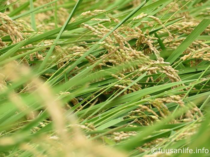 収穫間際の稲の写真