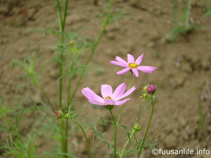 咲き始めたコスモスの花の写真