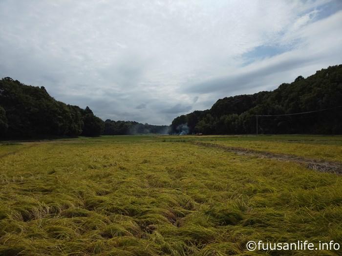 一面倒れた稲の風景写真