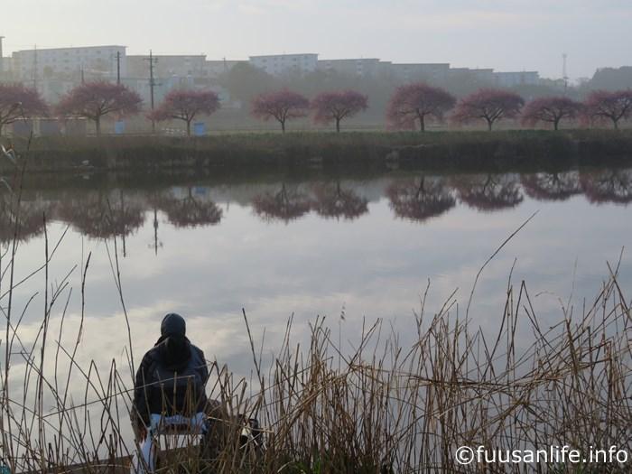河津桜と釣人の写真