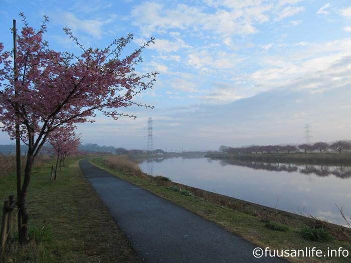 右岸沿いの河津桜の写真