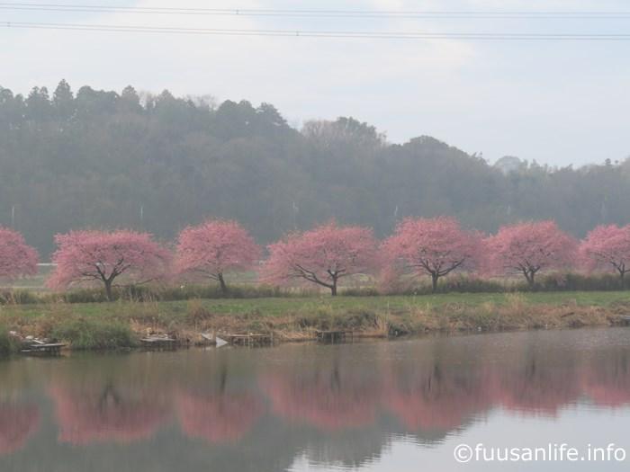 水面に映る対岸の河津桜の写真