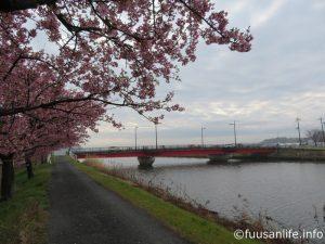 神尾橋付近の河津桜の写真