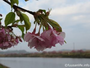 頭を垂れてる河津桜の写真