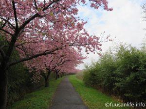新川左岸沿いに咲く河津桜の写真