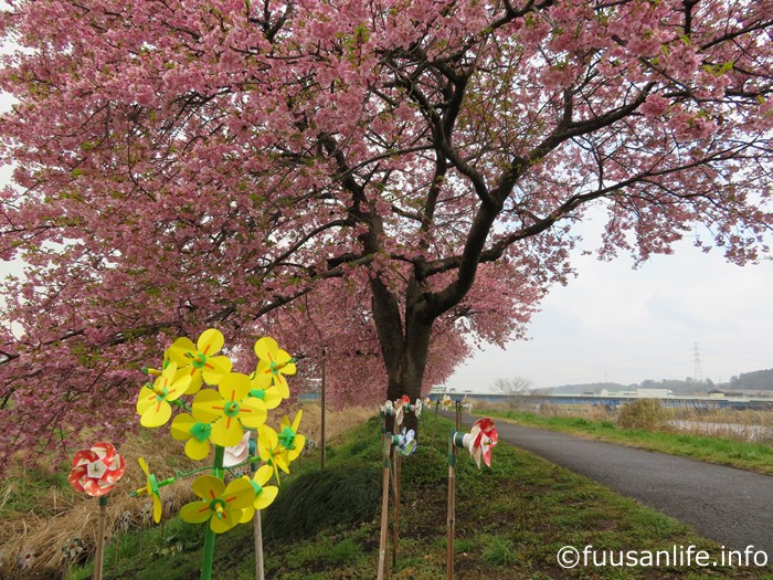風車と河津桜の写真
