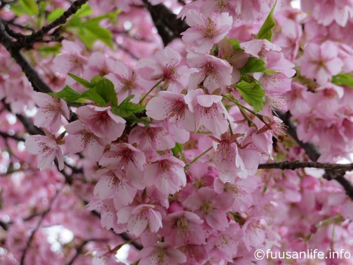 満開の河津桜の写真