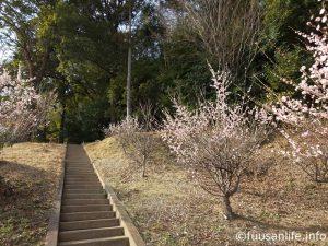 白梅と神社へ続く階段の写真